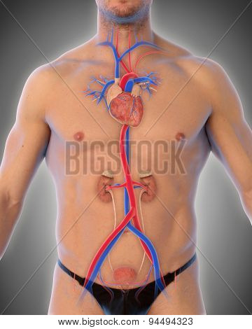 Thoracic Aorta Illustration