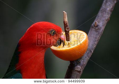 Australian King Parrot Eating An Orange
