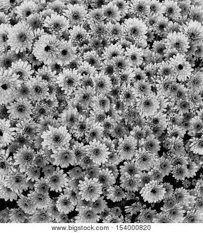 Flowers flowers chrysanthemum Chrysanthemum wallpaper chrysanthemums in autumn chrysanthemums annuals chrysanthemum pictures chrysanthemum pictures chrysanthemum photos