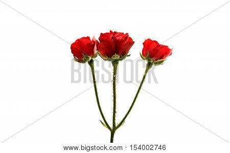small red rose on a white background