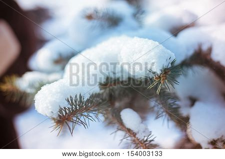 Fir twig nestled in snow in the winter snow-covered park