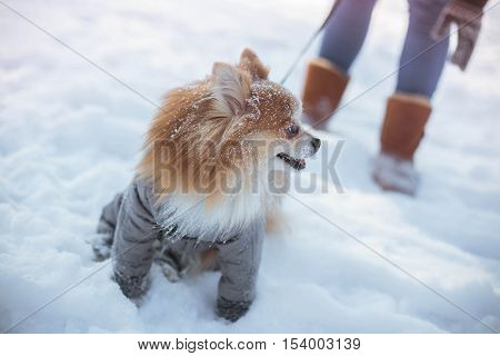 Pomeranian in a gray suit playing on the snow in winter park