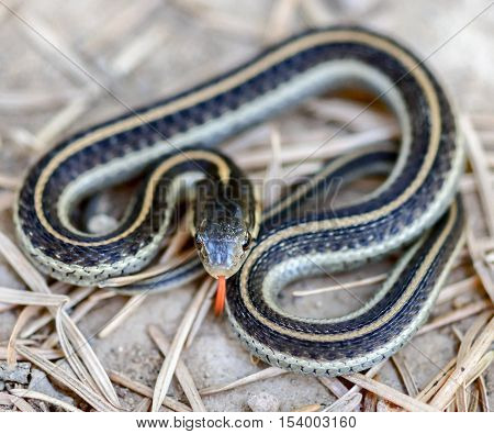 Coast Gartersnake (Thamnophis elegans terrestris) in typical defense posture. Mt. Tamalpais, Marin County, California, USA.