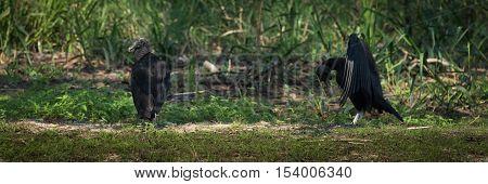 Black Vulture Doing Mating Dance For Female