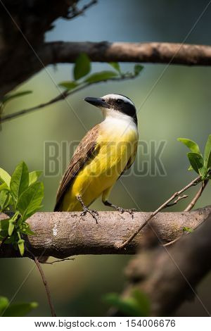 Lesser Kiskadee Perched On Branch Turning Head