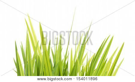 Fresh Green Grasses Isolated On White Background