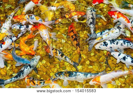 Ponds reproduce the various colors of goldfish