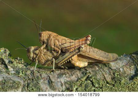 Egyptian locust (Anacridium aegyptium) coupling in an Italian garden
