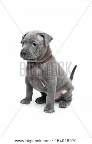 One month old thai ridgeback puppy dog in brown collar sitting. Isolated on white. Copy space.