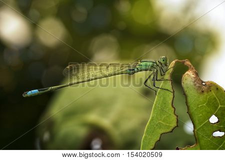 Damselfly stick tight to decay leaves, take a rest and sun bathing by soft light in evening at my backyard garden