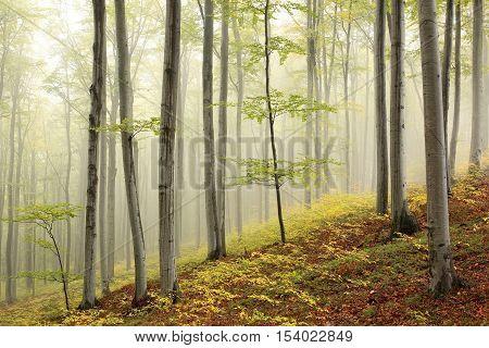 Autumn beech forest in the fog, Poland.