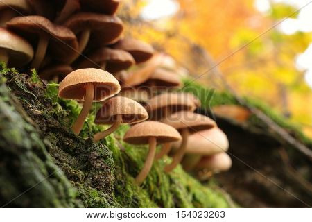 Family of mushrooms in autumn forest. October.