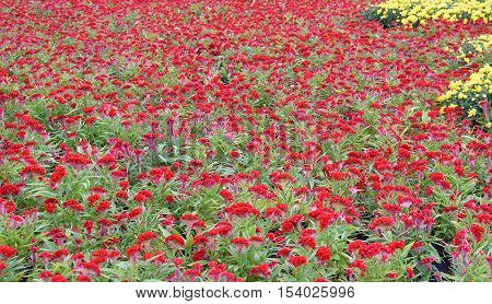 Red Celosia Cristata Cockscomb Flowers