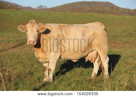 A female cow in the Appalachian Mountains of West Virginia