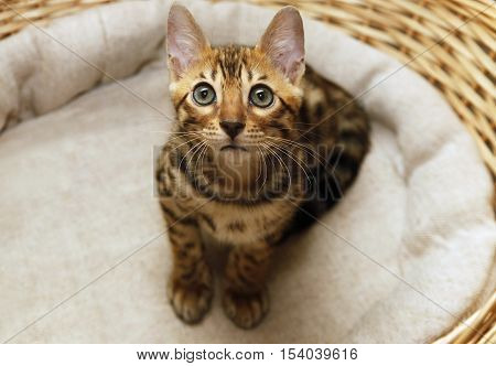 Small bengal kitten in a basket at home