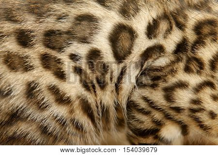 Fur Bengal Cat