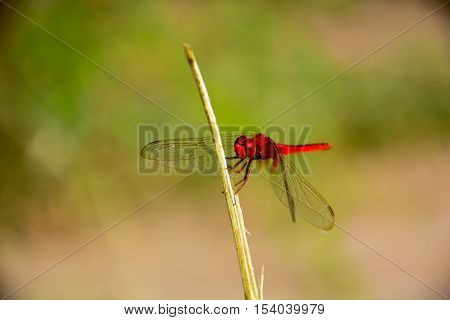 Red Dragonfly an island sticks wings center wing sunlight background blur.