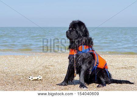 Portrait of a black Newfoundland dog on the coast of the Sea of Azov