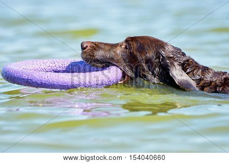 Brown Labrador swimming in the sea with puller