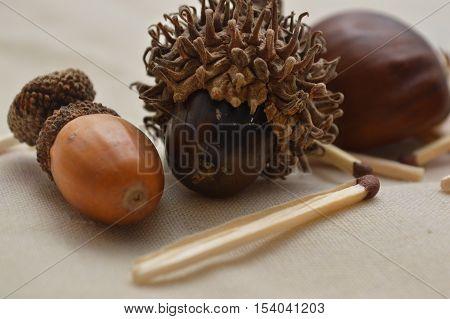 Acorn. Still life with acorn as photo motive.