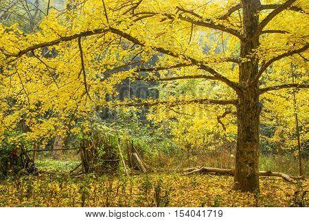 The beautiful maidenhair tree scenery in autumn