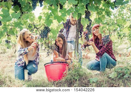 Group of people harvesting vine grapes in a vineyard