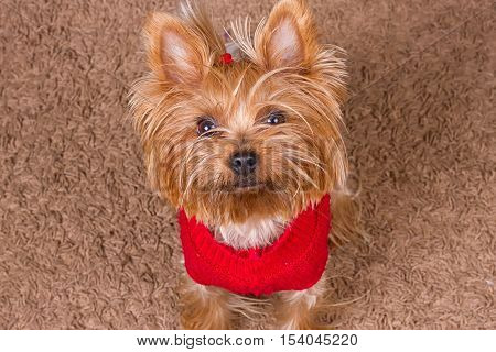 Dog yorkshire terrier in red sweater is sitting on the carpet