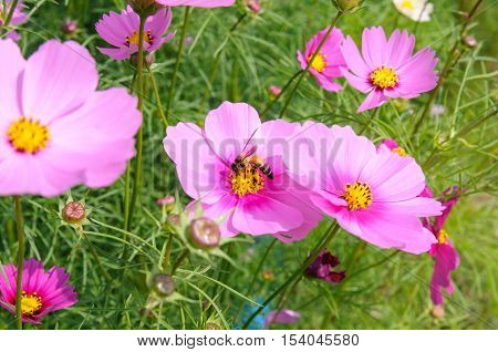 Close-up A Honey Bee On Cosmos Flower