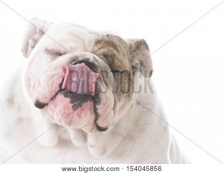 english bulldog licking lips isolated on white background