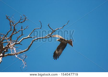 Eagle soaring and looking down with a blue sky background