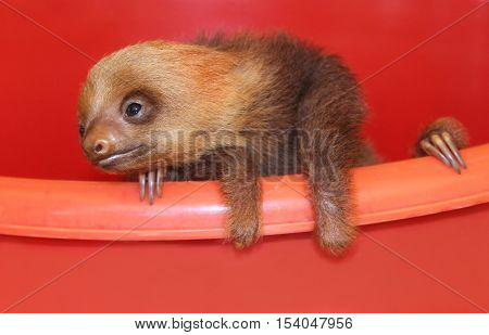 Baby sloth in an animal sanctuary, Costa Rica. Hoffmann's two-toed sloth (Choloepus hoffmanni)