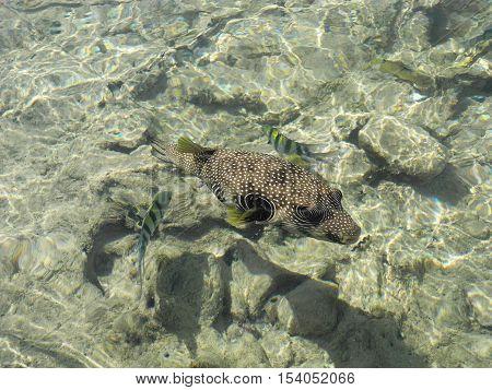 Friendly Arothron hispida fish in the Red Sea.
