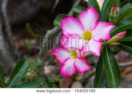 Dewy white yellow pink Adenium flower with leafs closeup angle view flower at the upper left of the screen