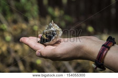 Young small Bird Sparrow In woman Hand