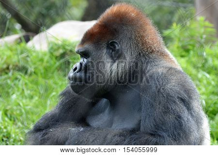 Western lowland gorilla foraging for green plants