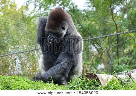 Western lowland gorilla foraging for green plants
