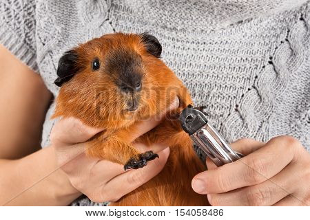 woman hands cutting claws of guinea pig with nail clipper