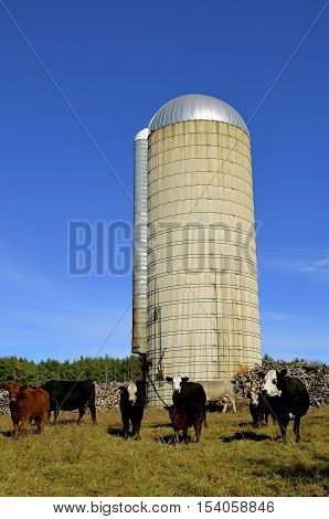 A herd of beef cattle stand in front of a tall stave silo.