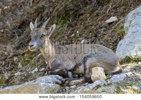 Young Alpine Ibex