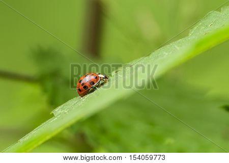 Ladybug On Foliage