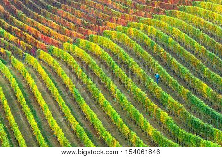 Man and his field of grape. Vineyards in autumn colors. Piemonte, Italy