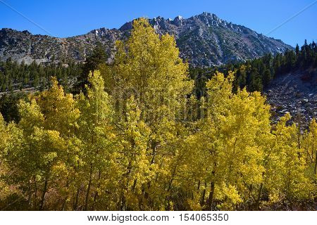 Quaking Aspen Trees changing leaves during autumn foliage taken in the Sierra Nevada Mountains, CA