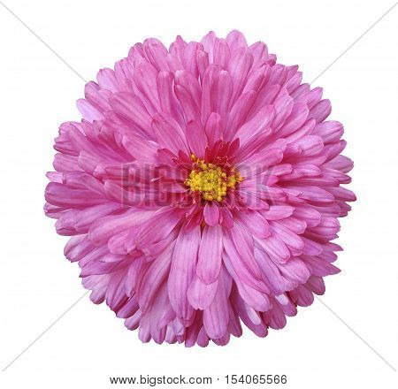 pink flower white isolated background with clipping path. Closeup. no shadows. yellow center. Nature. Aster.