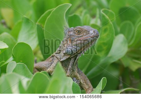 Up close with a common iguana perched in a green bush.