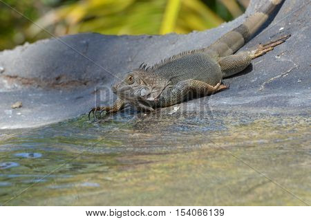 Common iguana thinking about taking a swim in shallow water.