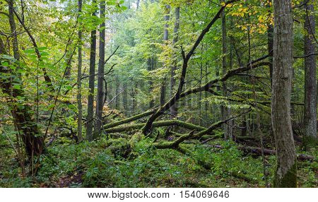 Old oak tree broken lying in autumnal ladscape of deciduous stand, Bialowieza Forest, Poland, Europe
