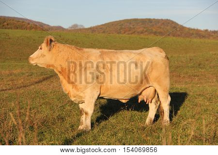 A female cow in Appalachian Mountains, West Virginia