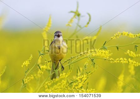 the bird is a  yellow Wagtail singing on a bright summer meadow