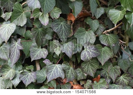 Ivy / Ivy - creeping shrubs clinging to their adventitious roots of the walls, tree trunks, and so on.