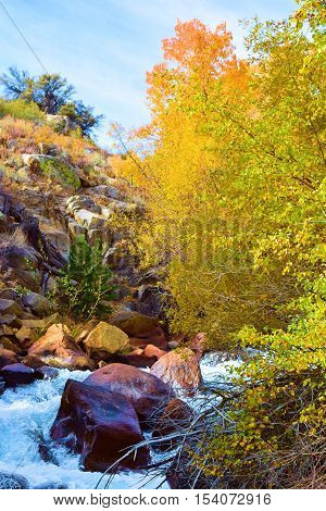 Fresh water creek surrounded with Quaking Aspen Trees during autumn taken in the Sierra Nevada Mountains, CA